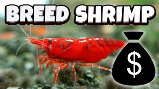 How to Breed Shrimp - A full guide