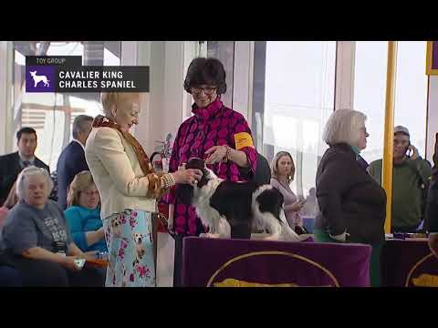 Cavalier King Charles Spaniels part 1 | Breed Judging 2019
