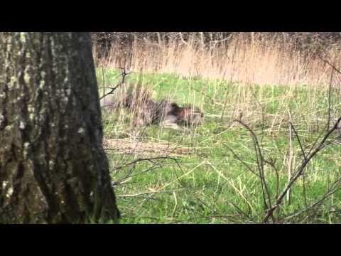 2011 PA spring gobbler season. Roger's 1st bird.
