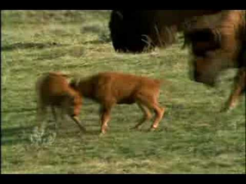 NG Yellowstone Wolves part 9