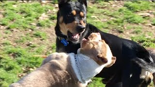 A Rottweiler/PitBull Mix Gets Mad at an American Bully Puppy
