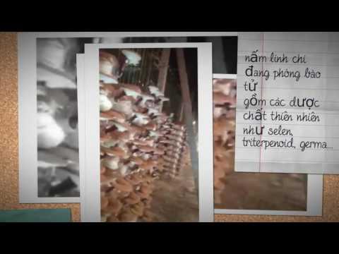 Video cơ sở sản xuất nấm linh chi Minh Dũng