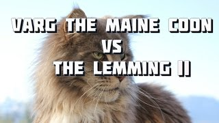 Maine Coon Cat Video - Varg the Maine Coon vs The Lemming Part II
