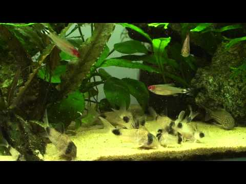 Corydoras Panda Loves Eating Brine Shrimps