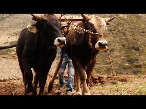How To: Plough the Land with Bulls   Written by Amilcar