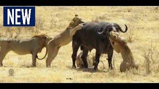 В мире животных.В АФРИКЕ НЕТ ЗАКОНОВ!!!ЖЕСТОКОЕ НАПАДЕНИЕ ЖИВОТНЫХ!!!! борьба животных