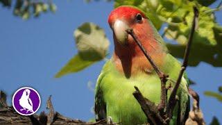 Веселые попугаи неразлучники. Друзья попугая Морозко