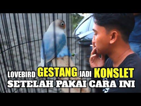 Lovebird Gestang Langsung Konslet Setelah Pake Cara Ini Youtube