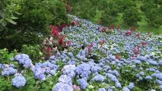 Hydrangea Garden Sesoko Bridge Captain Kangaroo Camera used: Canon ...