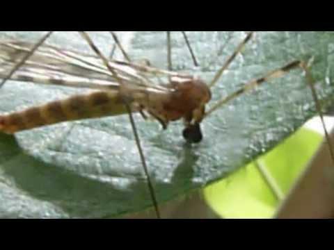 Crane Fly Feeding on Plant Sap - Macro