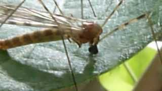 Crane Fly Feeding on Plant Sap - Macro