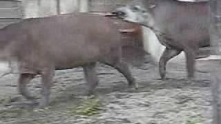 「上野動物園 バクその2」