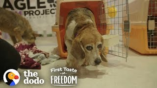 beagle-who-spent-years-in-a-lab-cage-finally-gets-a-family-the-dodo-first-taste-of-freedom