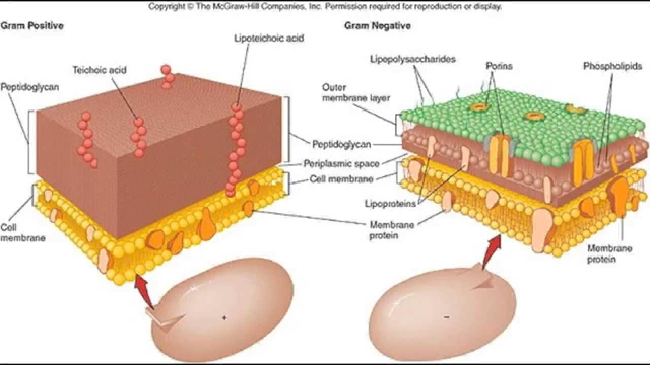 مراجعة لمقدمات الأحياء الدقيقة وشرح البكتيريا والجدار الخلوي للبكتيريا والبكتيريا الكروية العنقودية Youtube