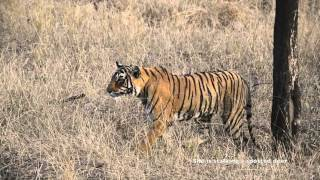 Tigress Jumps for the kill - Ranthambore forest Rajasthan