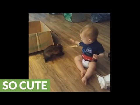 Baby battles ferret for pacifier dominance