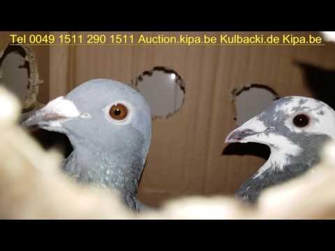 RASA KULBACKI W ANGLII RACING PIGEONS SHIPPING UNITED KINGDOM TEL 0049 1511 290 1511