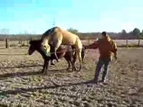 Hevoset Parittelevat