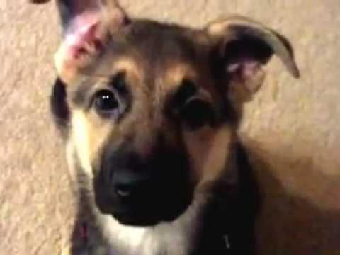 Cutest german shepherd...