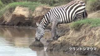 アフリカ ケニアサファリ旅行。2010年夏。