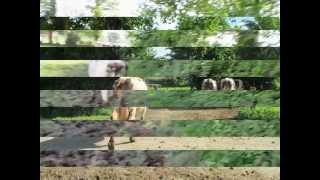 les vaches normande