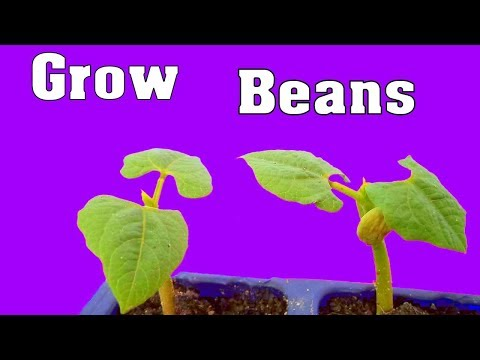 बींस प्लांट, How to Grow Beans Plant With Seeds in Pot  NOT- [seeds link below in description]
