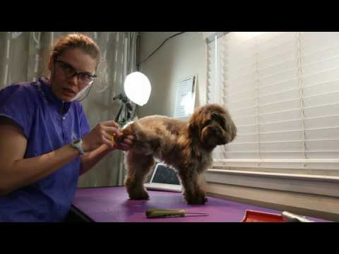 Nail Trimming Ginger (Schnoodle)