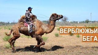 ВЕРБЛЮЖЬИ БЕГА. Астраханская область