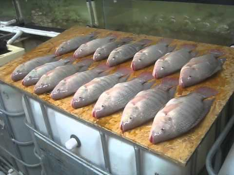 notes fish production i fishing Traditional fish processing and marketing of the  which are important for fish production  pelagic fish, which is reflected in large fishing activities during.