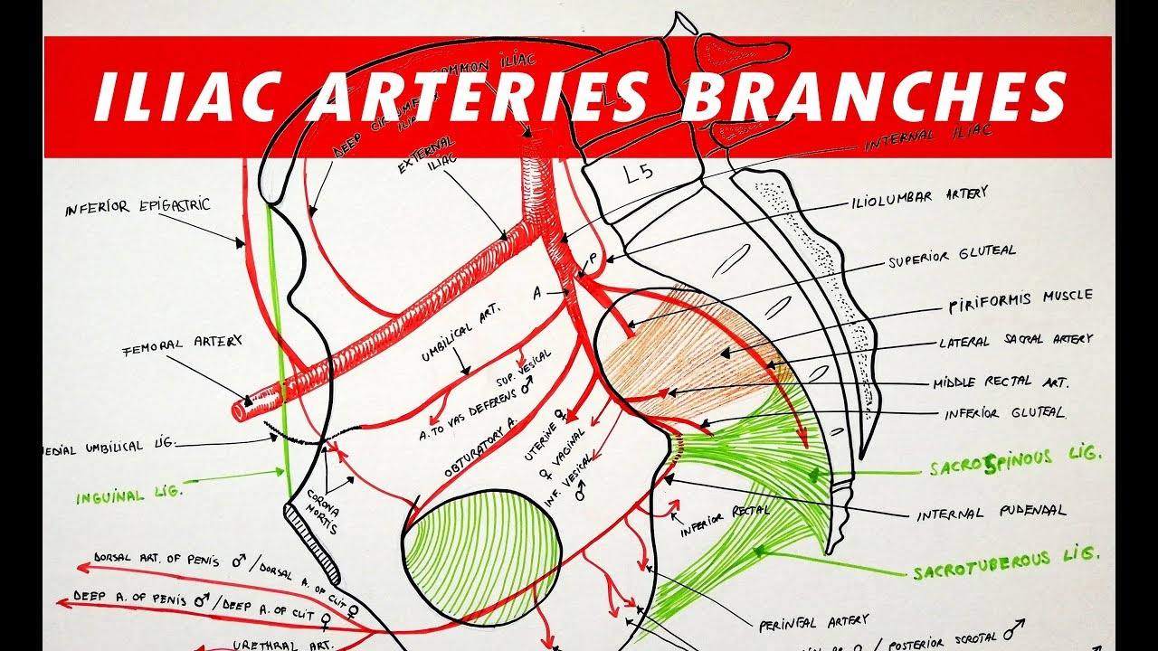 Branches of the Internal and External ILIAC ARTERIES - YouTubeYouTube