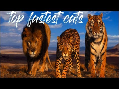 top 14 fastest cats - top cat documentary \ 1# planet (new cat documentary)