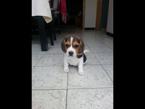 Beagle Puppy 8 weeks first day @ home