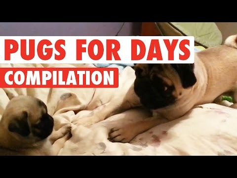 Funny Pugs For Days Video Compilation 2016