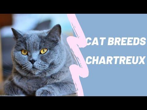 CHARTREUX - CAT BREEDS