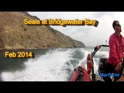Seals at Bridgewater Bay Feb 2014