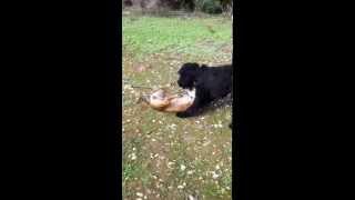 Giant Schnauzer Vs American Staffordshire Terrier