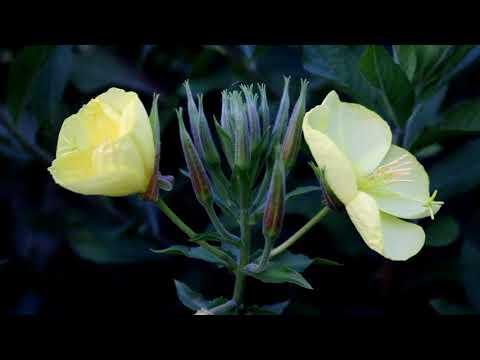 Evening Primrose, Oenothera biennis,  Common Evening Primrose, amazing, bloom, blooming, Primrose Mp3