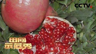 《田间示范秀》 20210104 大山里的石榴红了|CCTV农业 - YouTube