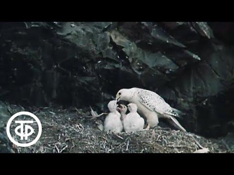 Смотреть В объективе - животные. В поисках белого кречета (1987) онлайн
