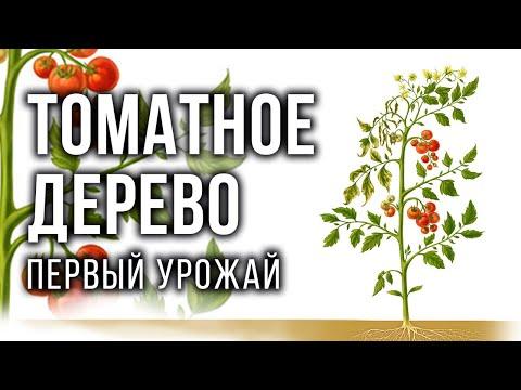 Томатное дерево: первый урожай