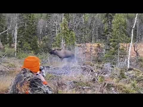 Moose hunt almost goes wrong