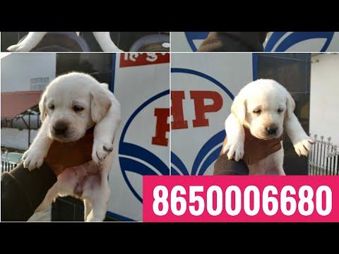 Show quality Labrador puppies for sale in Dehradun uttrakhand Patna Ara Bihar Delhi Mumbai Lucknow