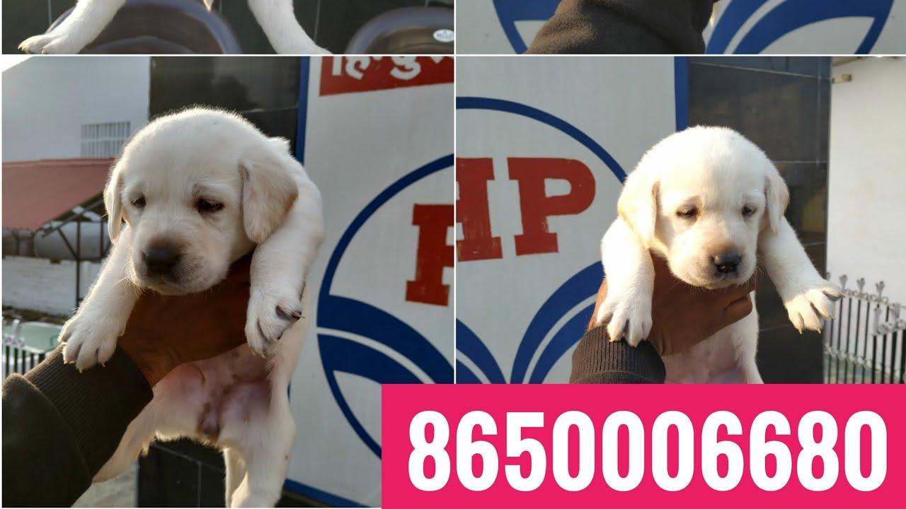 Show Quality Labrador Puppies For Sale In Dehradun Uttrakhand Patna Bihar Delhi Mumbai Maharashtra By Rohit Pet Care Dog Kennel