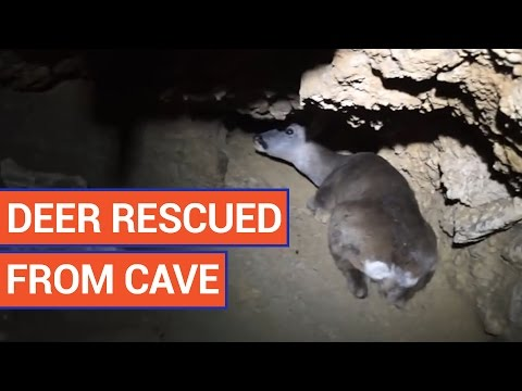 Men Rescue Deer Stuck in Underground Cave Video 2016 | Daily Heart Beat