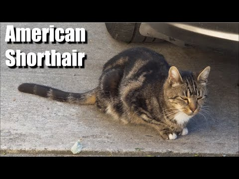 American Shorthair Cat Video and Sound Effect (4k)