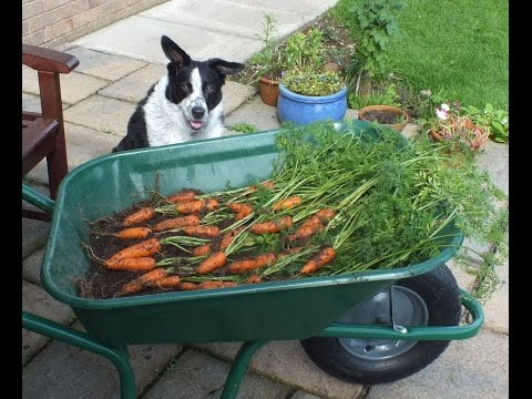 HGV How to grow Carrots in a pot, start to finish. Organic Carrots in a pot.