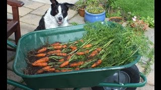 HGV How to grow Carrots in a pot, start to finish. Organic Carrots in a bucket.