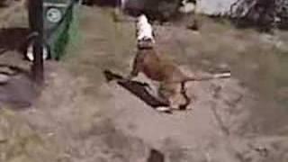 Jiygi The Dog Gymnast