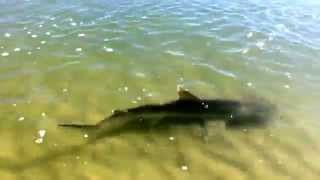 Scalloped Hammerhead Shark in very shallow water New Smyrna Beach