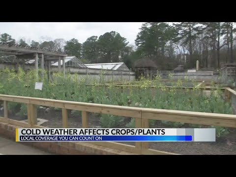 Cold weather affects plants/crops